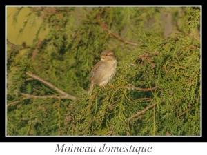 wpid-lien_moineau-domestique.jpg