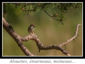 wpid-lien_alouettes-etourneaux-moineaux.jpg