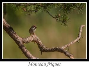 wpid-wpid-lien_moineau-friquet.jpg