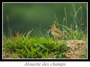 wpid4731-lien_alouette-des-champs.jpg