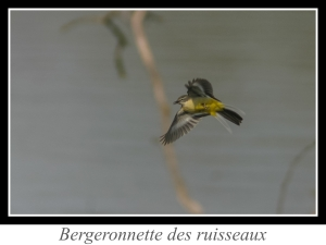 wpid4779-lien_Bergeronnette-des-ruisseaux.jpg