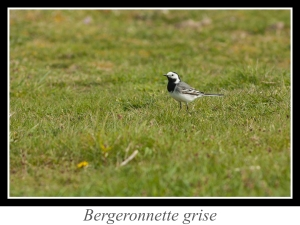 wpid4783-lien_Bergeronnette-grise.jpg
