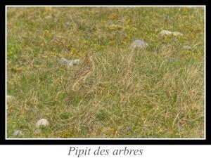 wpid4792-lien_pipit-des-arbres.jpg
