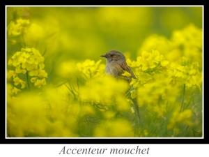 wpid4817-lien_accenteur-mouchet.jpg