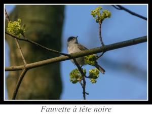 wpid4823-lien_fauvette-a-tete-noire.jpg