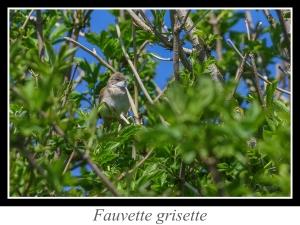 wpid4829-lien_fauvette-grisette.jpg