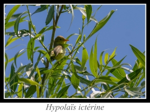 wpid4838-lien_hypolais-icterine.jpg