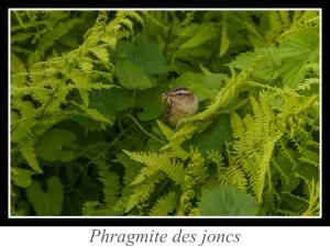 wpid4851-lien_phragmite-des-joncs.jpg