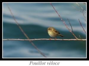 wpid4860-lien_pouillot-veloce.jpg