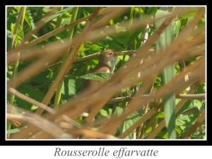 wpid4868-lien_rousserolle-effarvatte.jpg