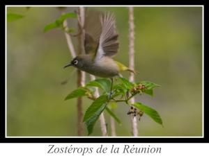 wpid5030-lien_zosterops-de-la-reunion.jpg