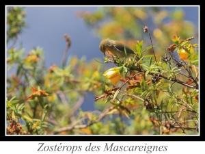 wpid5034-lien_zosterops-des-mascareignes.jpg
