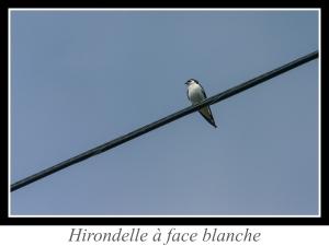 wpid5040-lien_hirondelle-a-face-blanche.jpg