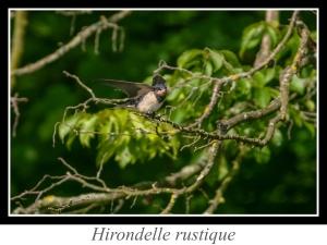 wpid5048-lien_hirondelle-rustique.jpg