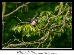 wpid5083-lien_Hirondelles-martinets.jpg