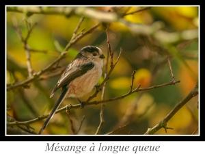 wpid5100-lien_mesange-a-longue-queue.jpg