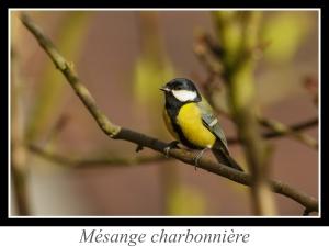 wpid5112-lien_mesange-charbonniere.jpg