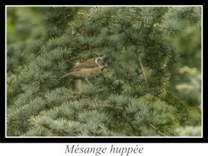 wpid5114-lien_mesange-huppee.jpg
