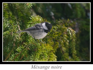 wpid5115-lien_mesange-noire.jpg