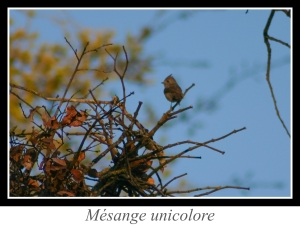 wpid5120-lien_mesange-unicolore.jpg