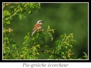 wpid5135-lien_pie-grieche-ecorcheur.jpg
