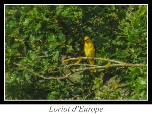 wpid5139-lien_loriot-d-europe.jpg