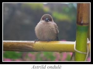 wpid5140-lien_astrild-ondule.jpg