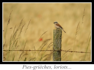 wpid5145-lien_pies-grieches-loriots.jpg