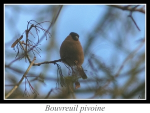 wpid5147-lien_bouvreuil-pivoine.jpg