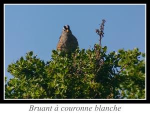 wpid5149-lien_bruant-a-couronne-blanche.jpg