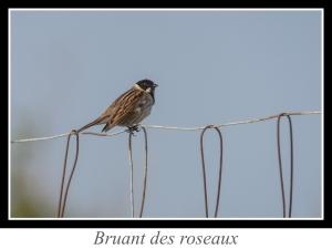 wpid5157-lien_bruant-des-roseaux.jpg