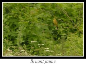 wpid5159-lien_bruant-jaune.jpg
