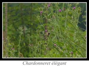 wpid5165-lien_chardonneret-elegant.jpg