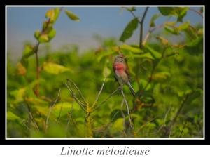 wpid5169-lien_linotte-melodieuse.jpg