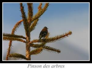 wpid5171-lien_pinson-des-arbres.jpg