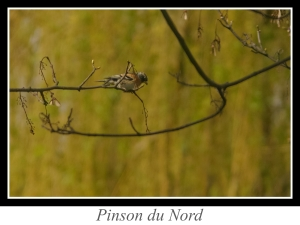 wpid5175-lien_pinson-du-nord.jpg