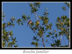 wpid5177-lien_roselin-familier.jpg