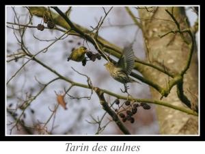 wpid5182-lien_tarin-des-aulnes.jpg