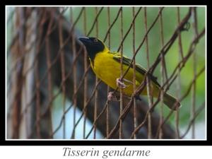 wpid5185-lien_tisserin-gendarme.jpg