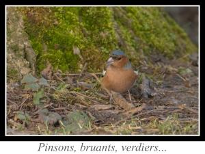 wpid5189-lien_pinsons-bruants-verdiers.jpg