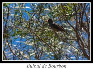 wpid5196-lien_bulbul-de-bourbon.jpg