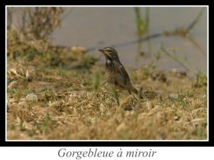 wpid5198-lien_gorgebleue-a-miroir.jpg