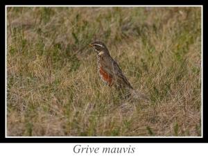 wpid5204-lien_grive-mauvis.jpg