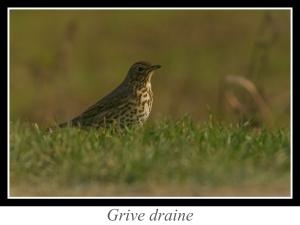 wpid5207-lien_grive-draine.jpg