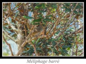 wpid5215-lien_meliphage-barre.jpg