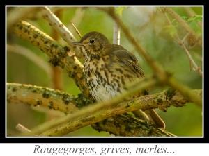 wpid5217-lien_rougegorges-grives-merles.jpg