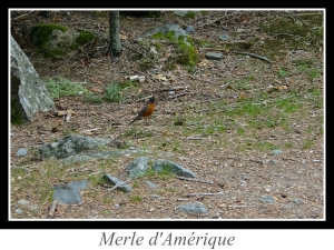 wpid5240-lien_merle-d-amerique.jpg