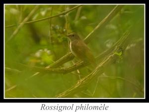 wpid5248-lien_rossignol-philomele.jpg