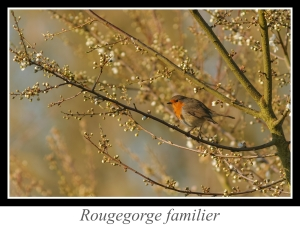 wpid5250-lien_rougegorge-familier.jpg