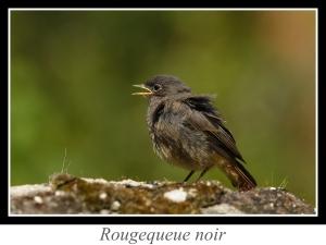 wpid5252-lien_rougequeue-noir.jpg